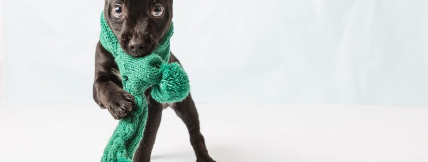 a black puppy with a green scarf around it's neck.