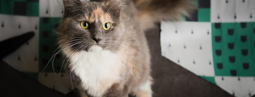 Grey and white fluffy cat