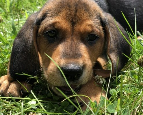 brown and black puppy lays in grass