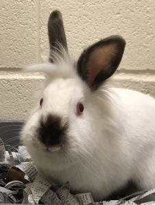 White bunny with grey nose and ears