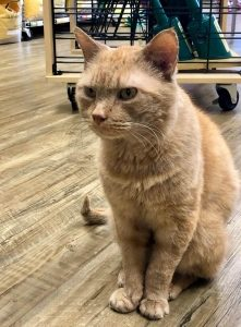 Orange and white cat sitting on hardwood floor