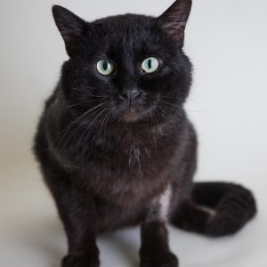 Large black cat sitting looking at camera
