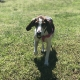 Hound dog running across grass with tennis ball in mouth