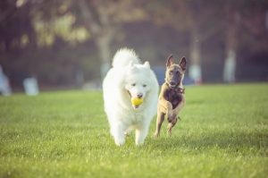 Dogs playing with a tennis ball