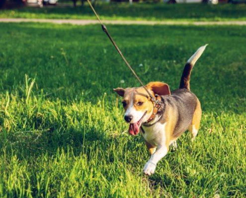 beagle dog walks on leash in grass