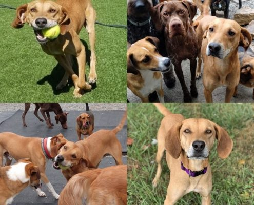 Collage of 4 photos featuring a medium sized brown dog playing