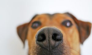 close up of brown dogs nose