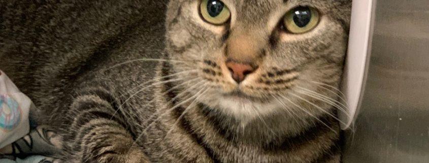 Adult tabby cat
