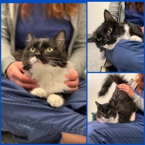 Tuxedo colored cat sits in someone's lap