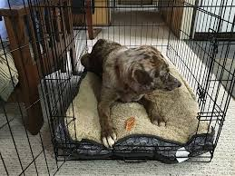 brown dog in crate with treat