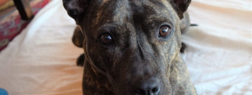 Dark brown dog lays on bet wiht her ears up looking face on to the camera