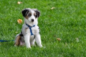 Puppy sits on grass with a leash and harness on