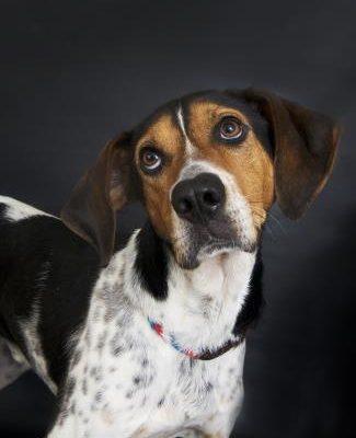 hound dog looks up at camera