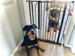 two dogs sit on the floor with a babygate in the doorway between them