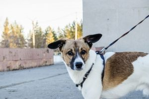 brown and white dog on leash looks at camera