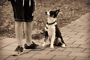 black and white dogs sits on the ground looking up at man