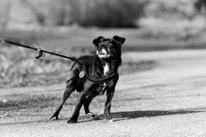 Small black dog pulls on leash