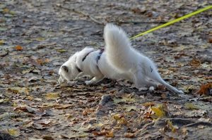 white dog pulls on a leash while sniffing the ground