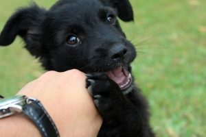 Black puppy plays with owners hand