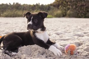 black and white puppy sits on sand with a tennis ball