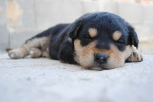black and brown puppy sleeping