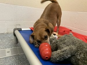 small brown dog investigates a kong toy