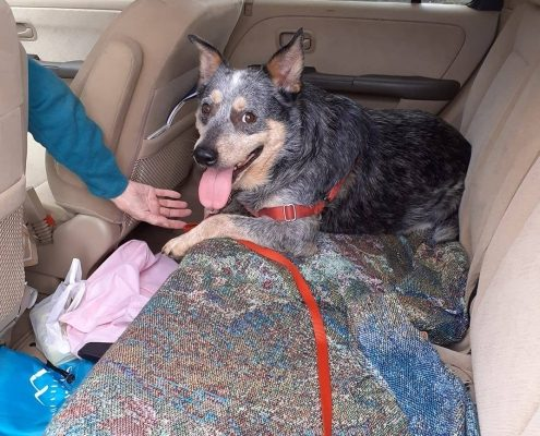 Cattle dog sits in the backseat of a car looking happy