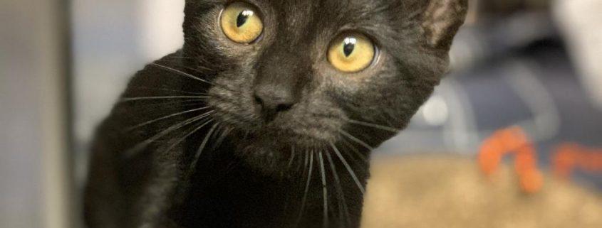 Black kitten with green eyes