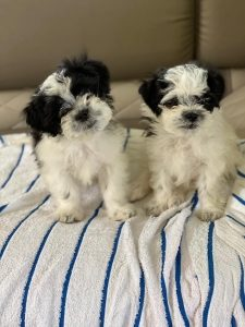 two small fluffy white puppies with black ears sit on a towel on a couch