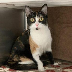 Calico cat sits in a cat condo