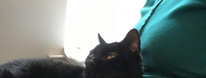 Black cat sits on a lap