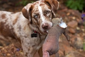 white dog with brown ears and marking holds a torn toy in their mouth.