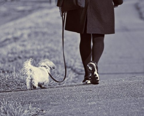 view of a small white dog being walked by a women