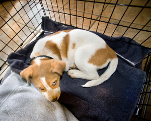 a brown and white puppy lays on a blue blanket in a crate