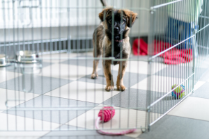a brown older puppy stands in a large metal inside pop up cage on a tile floor with a toy