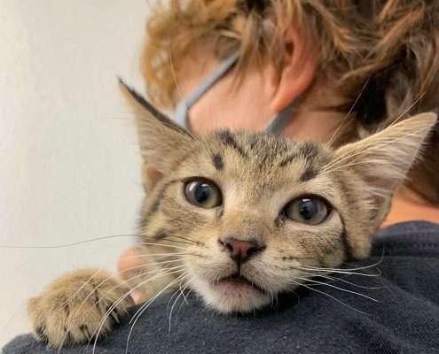 A kitten snuggles against a persons shoulder.