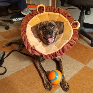 a brown dog lays on the foor wear a lion costume with a ball between her paws