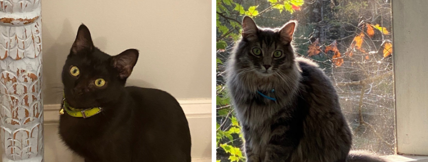 A side by side of a black cat sitting inside and a fluffy grey cat sitting on a screened porch railing