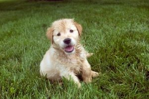 shot of a shaggy blonde puppy sitting in the grass