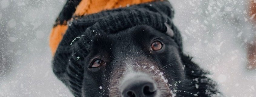a long haired black dog with white markings wearing a knit hat with a pom pom sits in the snow