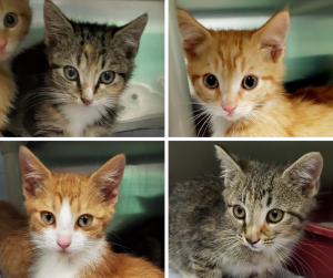 collage of four kittens, two grey tabby and two orange with white fur around their snouts