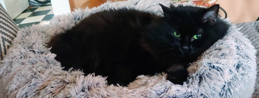 Black cat sits in a fluffy grey pillow