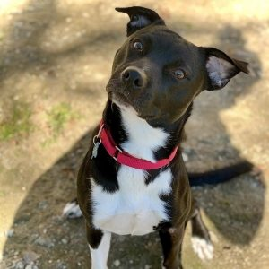 Black medium sized dog with white markings on her chest and chin sits on the ground looking up at a person behind the camera with her ears perked up