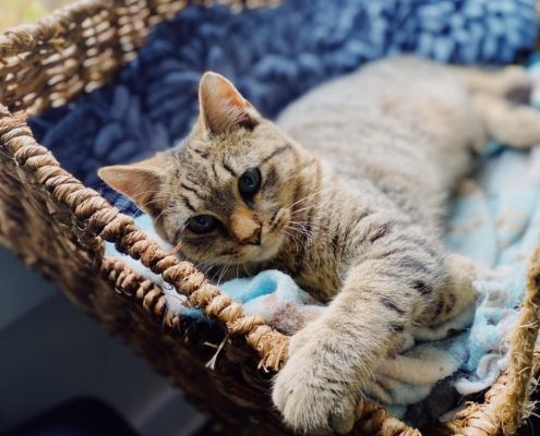a grey kitten lays in a basket with a blue blanket