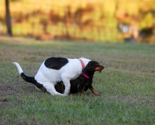 A white dog with black spots humps a smaller dark brown dog outside in a grassy area