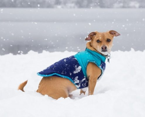 a small brown dog wearing a blue winter coat sits in the snow