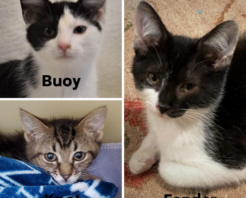 A collage of three kittens, two are black and white and one is grey