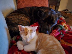 A white and orange kitten sleeps with a dark brown puppy