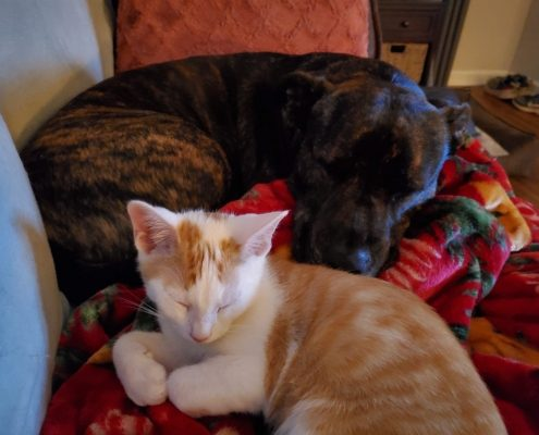 A white and orange kitten sleeps with a dark brown puppy