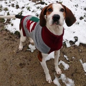 Brown and white hound dog wearing a grey and red sweater outside in a dirt and snow lot